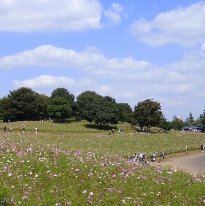 コスモスの丘.jpg